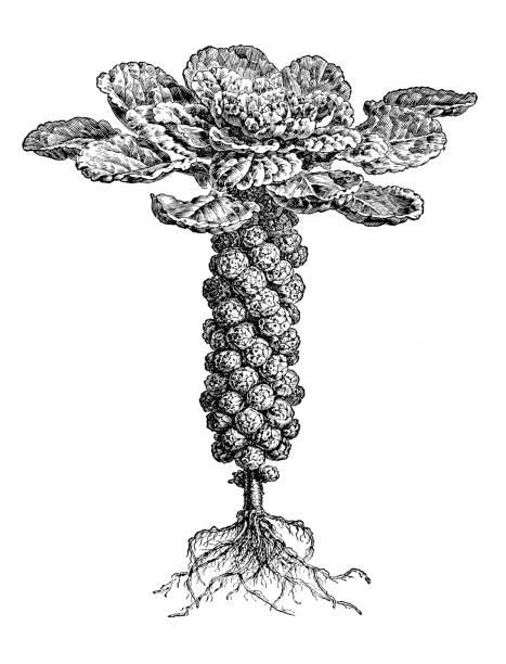 stockillustraties, clipart, cartoons en iconen met plantkunde planten antieke gravure illustratie: spruiten - spruitjes