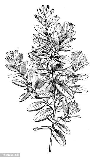 Botany plants antique engraving illustration: Buxus sempervirens (common box, European box, boxwood)