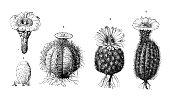 Botany plants antique engraving illustration: Cactus