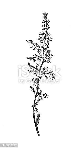 istock Botany plants antique engraving illustration: Calluna vulgaris (common heather, ling) 945053722