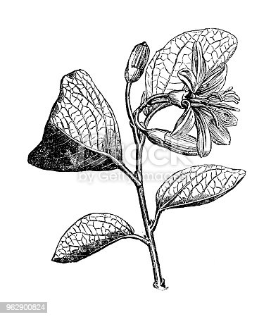 Botany plants antique engraving illustration: Calycanthus floridus (sweetshrub)