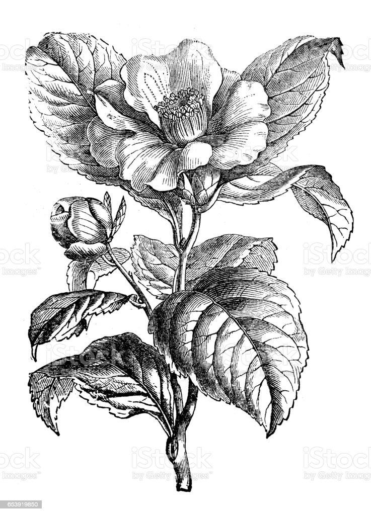 植物植物アンティーク彫刻イラスト 椿 アーカイブ画像のベクターアート