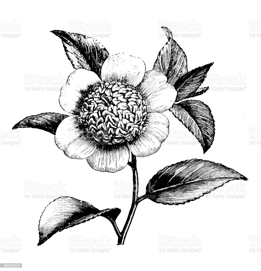 植物植物アンティーク彫刻イラスト 椿 Anemonaeflora 19世紀のベクター