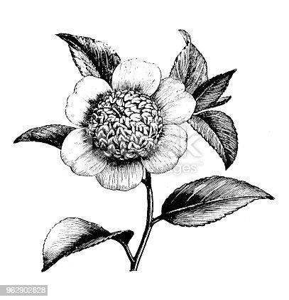 Botany plants antique engraving illustration: Camellia Japonica Anemonaeflora