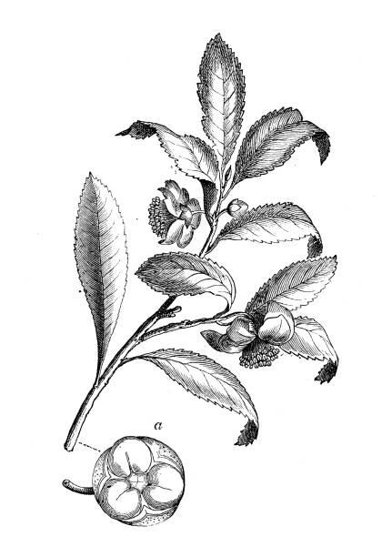 illustrazioni stock, clip art, cartoni animati e icone di tendenza di botany plants antique engraving illustration: camellia sinensis - camellia sinensis