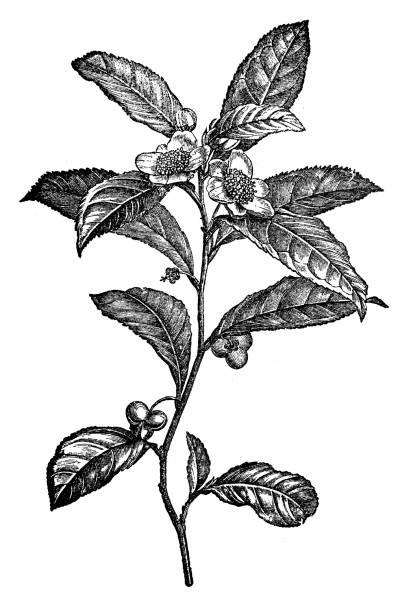 illustrazioni stock, clip art, cartoni animati e icone di tendenza di botany plants antique engraving illustration: camellia sinensis (tea plant) - camellia sinensis