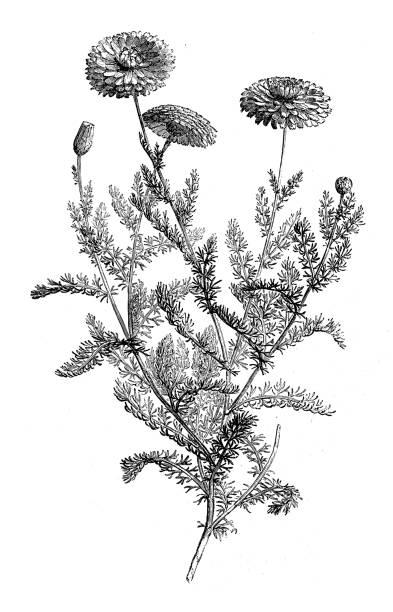 Botany plants antique engraving illustration: Camomile Botany plants antique engraving illustration: Camomile chamomile plant stock illustrations