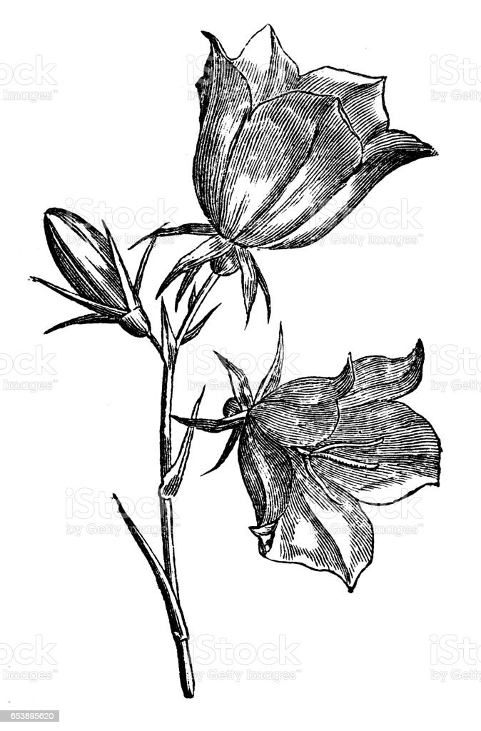Botany plants antique engraving illustration: Campanula persicifolia (peach-leaved bellflower) vector art illustration