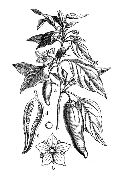 Botany plants antique engraving illustration: Capsicum annuum (peppers and chili peppers) vector art illustration