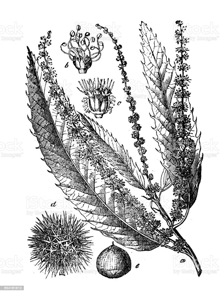Botany plants antique engraving illustration: Castanea sativa (sweet chestnut) vector art illustration