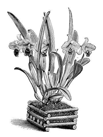 Botany plants antique engraving illustration: Cattleya trianae (Flor de Mayo, May flower)