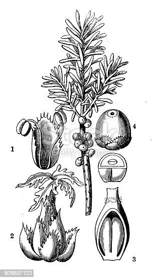 Botany plants antique engraving illustration: Ceratiola ericoides (sand heath, sandhill-rosemary, Florida-rosemary)