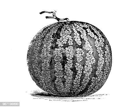 Botany plants antique engraving illustration: Citrullus lanatus, Watermelon