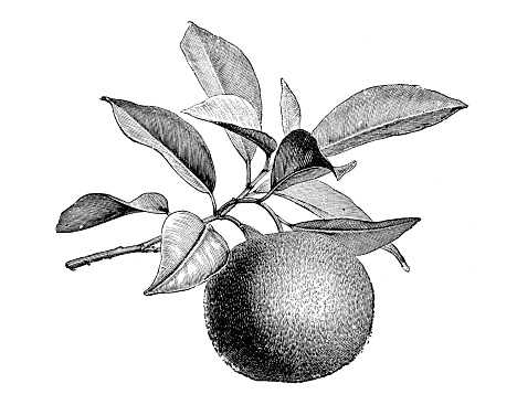 Botany plants antique engraving illustration: Citrus aurantium, Bitter orange, Seville orange, sour orange, bigarade orange