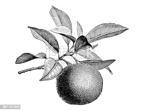 Botany plants antique engraving illustration: Citrus aurantium, Bitter orange, Seville orange, sour orange, bigarade orange