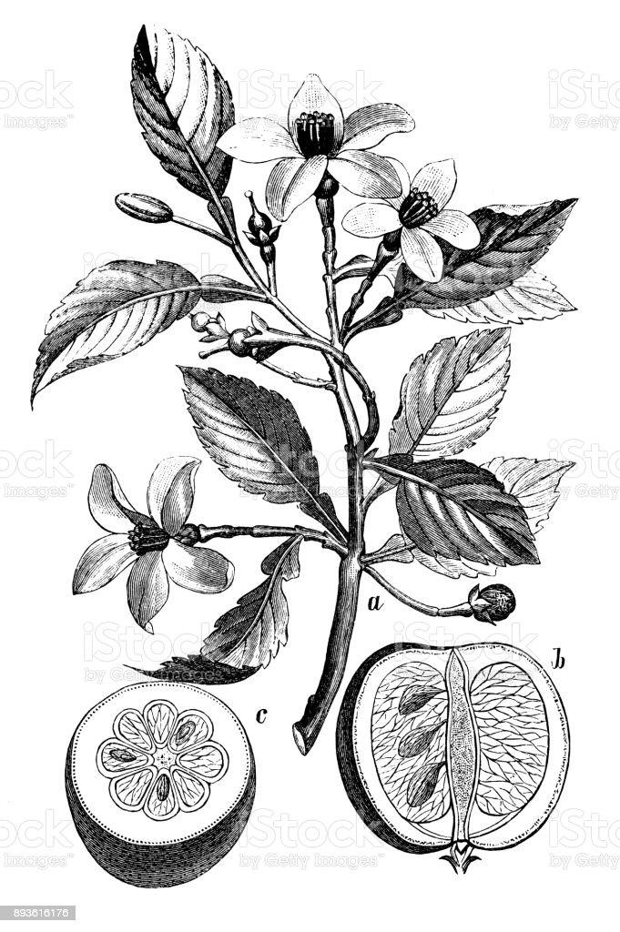 Botany plants antique engraving illustration: Citrus aurantium (Bitter orange, Seville orange, sour orange, bigarade orange, marmalade orange) vector art illustration