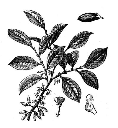 Botany plants antique engraving illustration: Coca