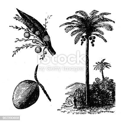 istock Botany plants antique engraving illustration: Coconut Palm Tree 952390658