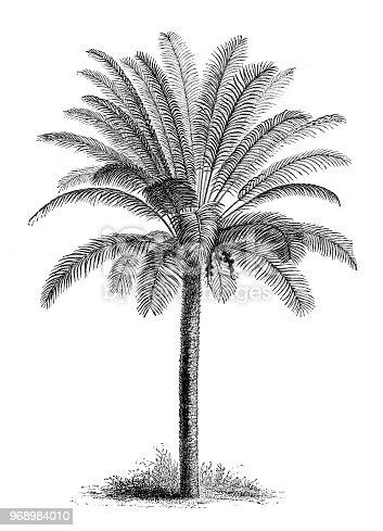Botany plants antique engraving illustration: Cycas circinalis, queen sago