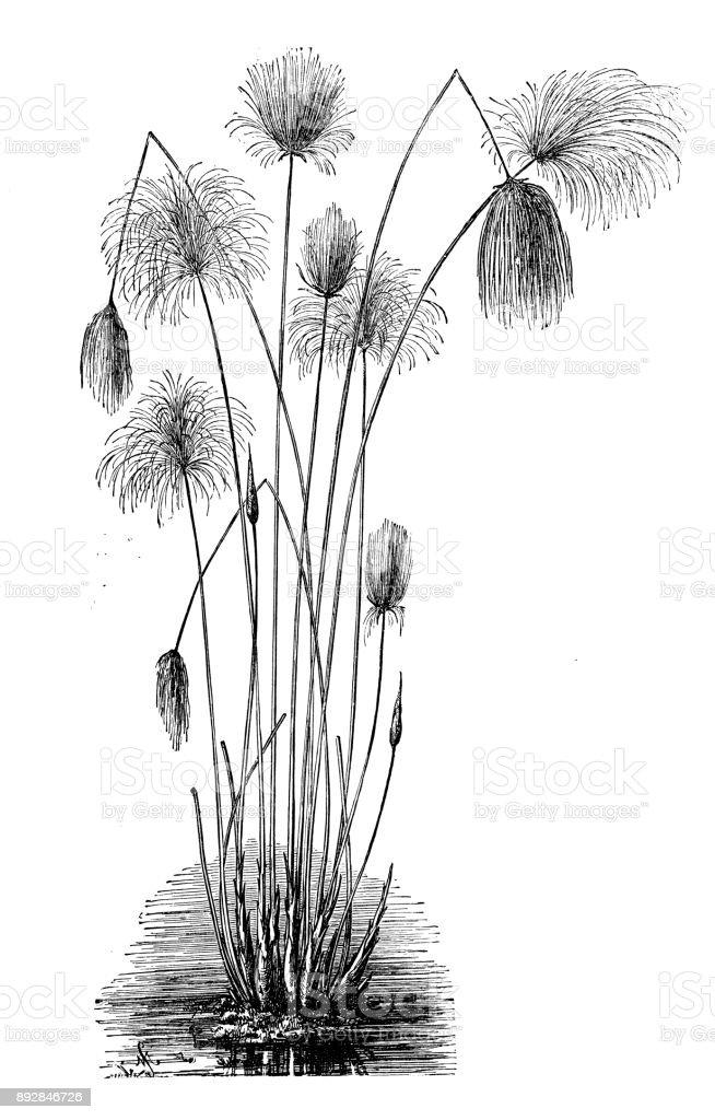 Plantes De Botanique Antique Illustration De Gravure Cyperus