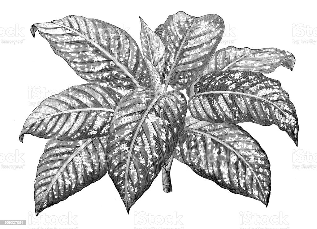 Silfo; Fitoterapia Botany-plants-antique-engraving-illustration-dieffenbachia-amoena-illustration-id969027684