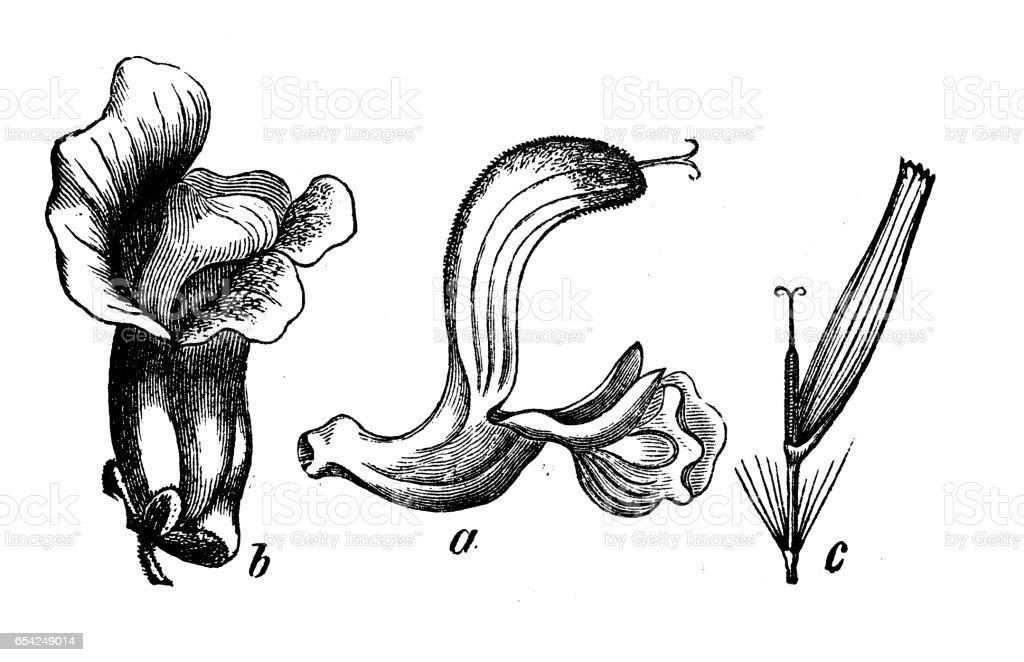 Botanik Pflanzen Antik Gravur Abbildung Verschiedene Arten Von ...
