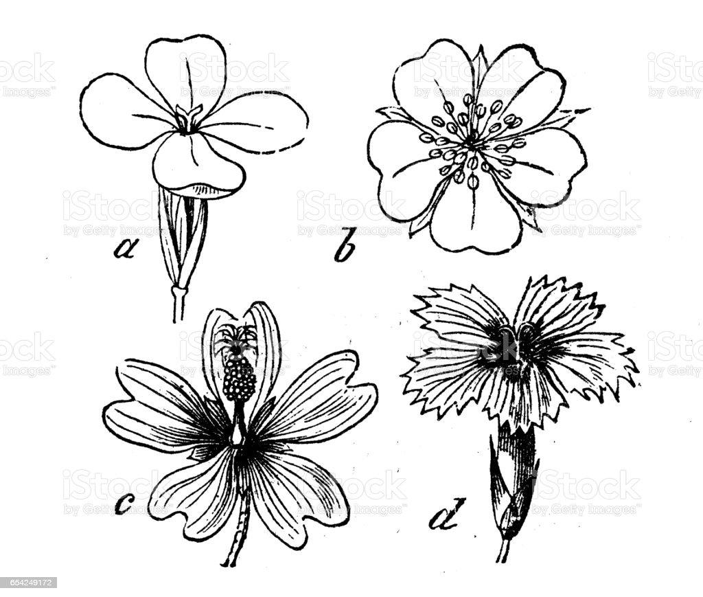 Botany Plants Antique Engraving Illustration Different Types Of