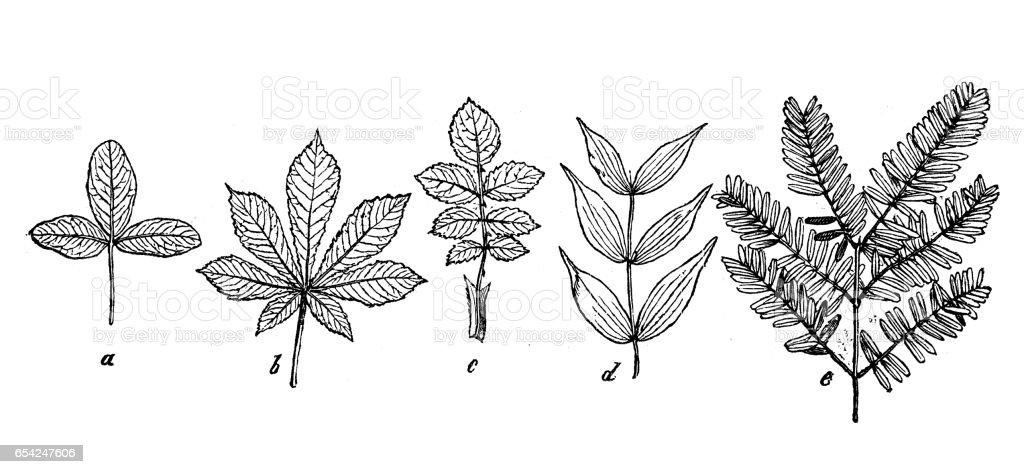 Botanik Pflanzen Antik Gravur Abbildung Verschiedene Arten Des ...