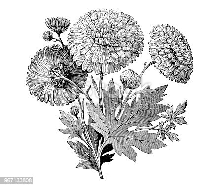 Botany plants antique engraving illustration: Early flowering Chrysanthemum