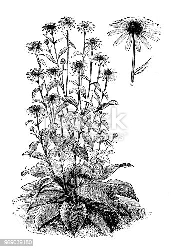 Botany plants antique engraving illustration: Echinacea purpurea, purple coneflower, hedgehog coneflower