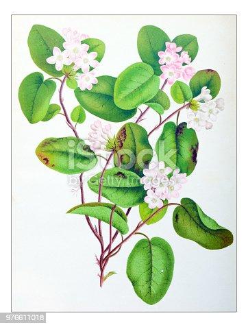 Botany plants antique engraving illustration: Epigaea repens, mayflower, trailing arbutus