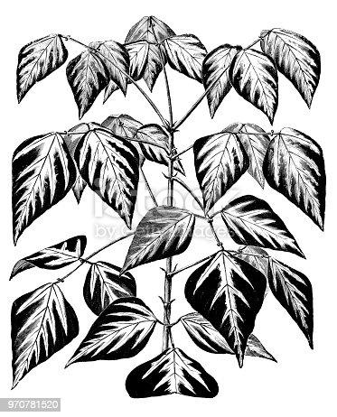 Botany plants antique engraving illustration: Erythrina variegata, tiger's claw, Indian coral tree, sunshine tree