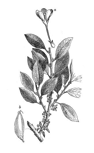 Botany plants antique engraving illustration: Erythroxylum coca, coca