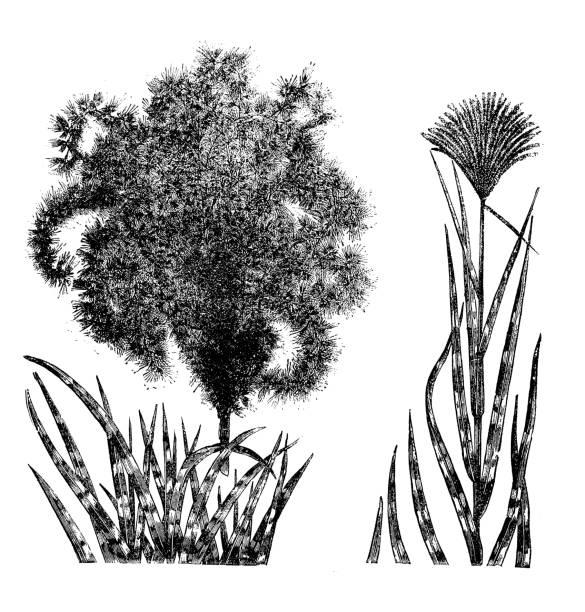 illustrazioni stock, clip art, cartoni animati e icone di tendenza di botany plants antique engraving illustration: eulalia japonica - miscanthus sinensis