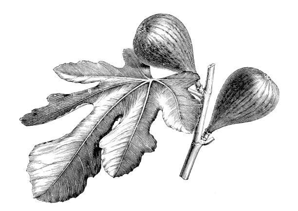Botany plants antique engraving illustration: Fig tree Botany plants antique engraving illustration: Fig tree fig stock illustrations