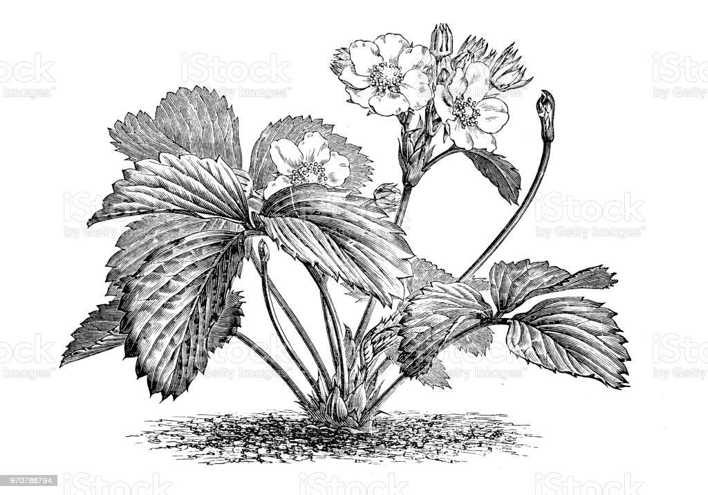 Ilustración de Botánica Plantas Antigua Ilustración De Grabado ...