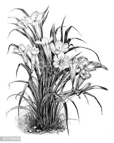 istock Botany plants antique engraving illustration: Freesia refracta var. alba 970789338