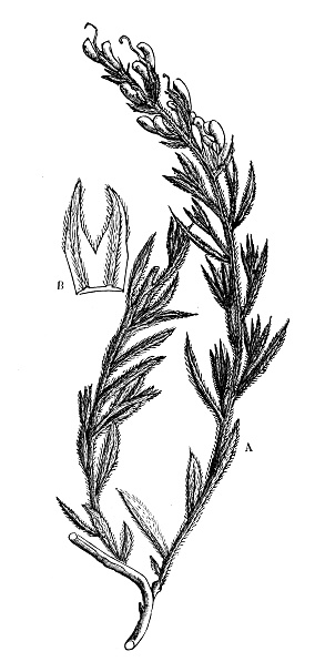 Botany plants antique engraving illustration: Genista tinctoria (dyer's greenweed, dyer's broom)