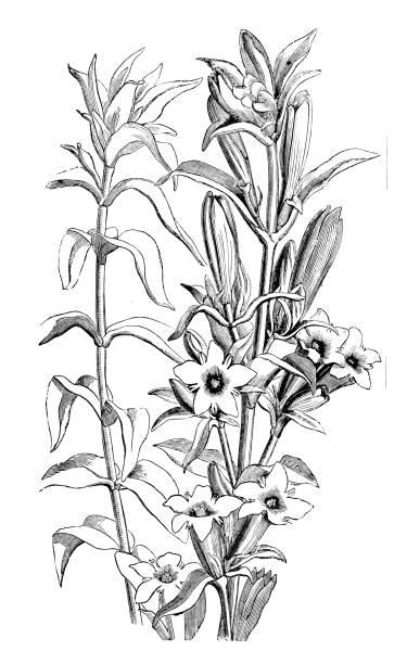 stockillustraties, clipart, cartoons en iconen met plantkunde planten antieke gravure illustratie: gentiana affinis, pleated gentiaan - gentiaan