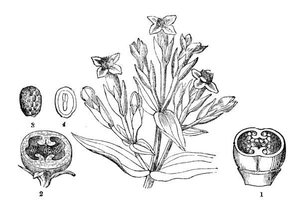 stockillustraties, clipart, cartoons en iconen met plantkunde planten antieke gravure illustratie: gentiana amarella - gentiaan