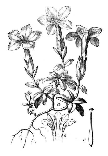 stockillustraties, clipart, cartoons en iconen met plantkunde planten antieke gravure illustratie: gentiana verna (voorjaar gentiaan) - gentiaan
