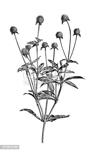 Botany plants antique engraving illustration: Gomphrena globosa, globe amaranth, makhmali, vadamalli