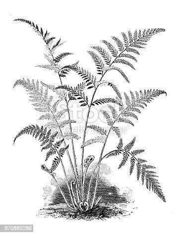 Botany plants antique engraving illustration: gymnogramme tartarea