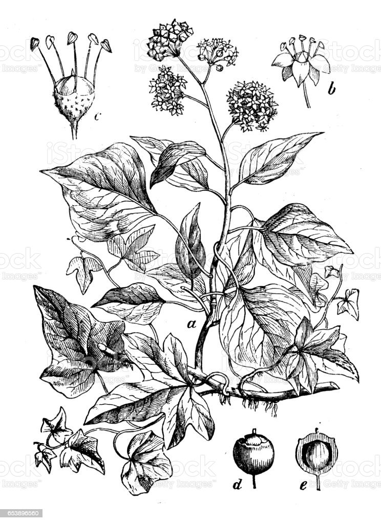 Botany plants antique engraving illustration: Hedera helix (common ivy) vector art illustration