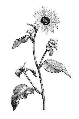 Botany plants antique engraving illustration: Helianthus argophyllus, silverleaf sunflower
