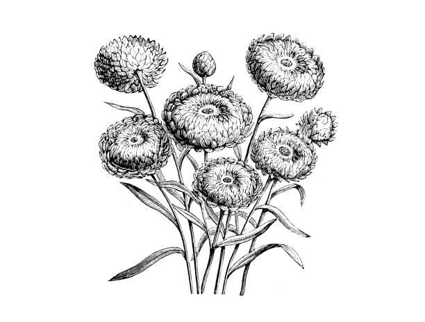 ilustrações, clipart, desenhos animados e ícones de plantas de botânica antiga ilustração de gravura: helichrysum bracteatum compositum, bracteantha bracteatum compositum, dourado pancararés eterna, - saudade