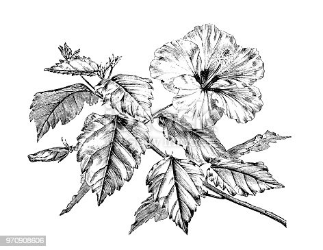 Botany plants antique engraving illustration: Hibiscus rosa-sinensis, Chinese hibiscus, China rose, Hawaiian hibiscus, rose mallow, shoeblackplant