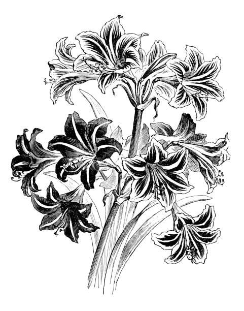 bildbanksillustrationer, clip art samt tecknat material och ikoner med botanik växter antik gravyr illustration: hippeastrum hybrid - amaryllis