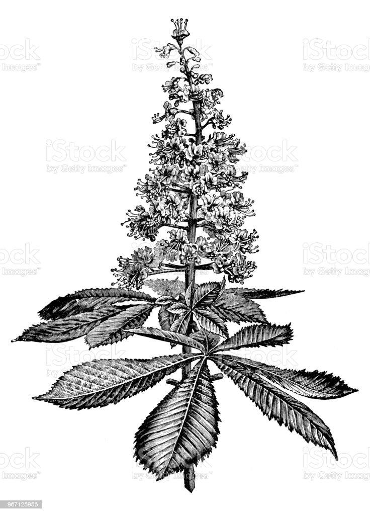 Botany plants antique engraving illustration: Horse Chestnut vector art illustration