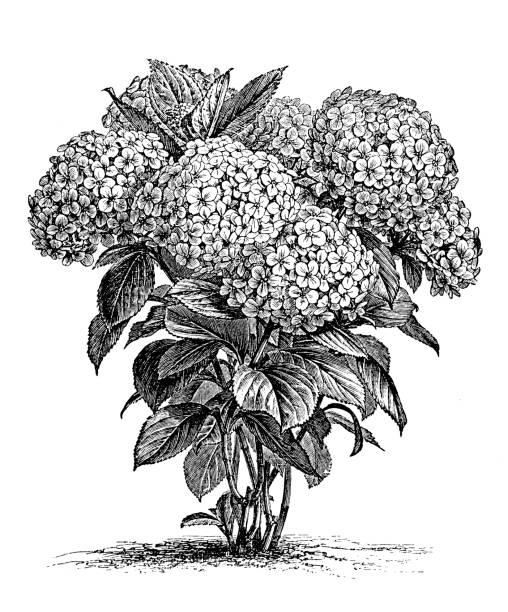 stockillustraties, clipart, cartoons en iconen met plantkunde planten antieke gravure illustratie: hortensia hortensis - hortensia